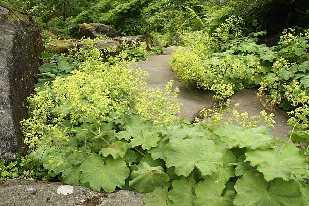 alchemilla vulgaris się w ogród zen - przywrotnik zdjęcia i obrazy z banku zdjęć