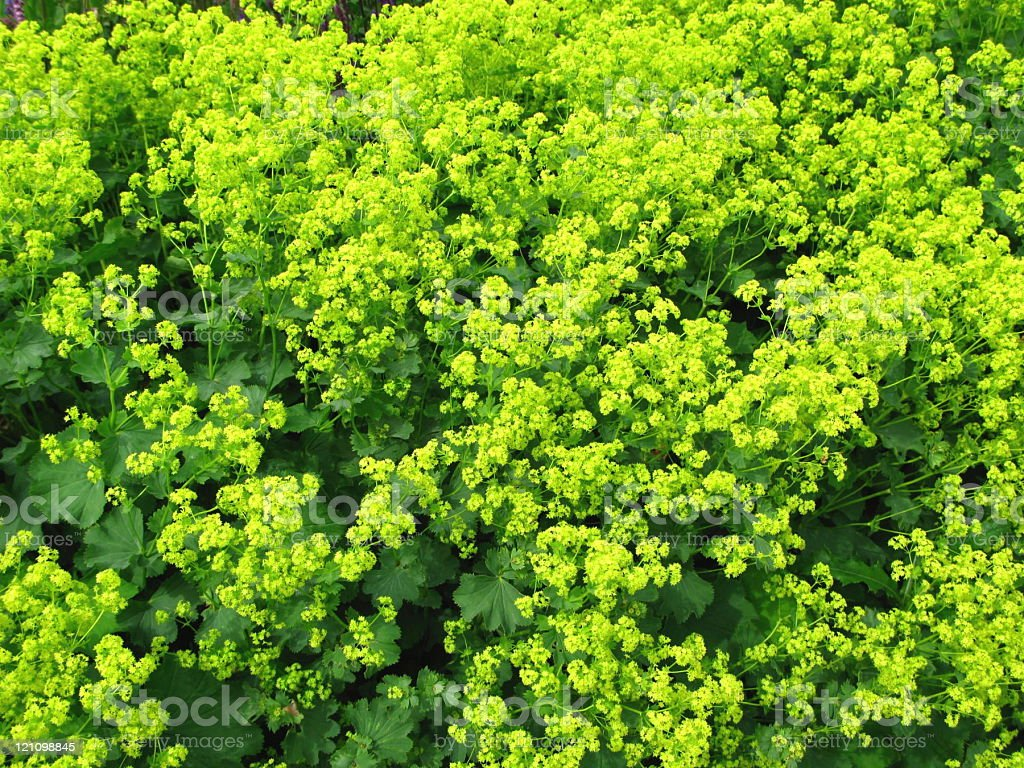 Alchemilla xantochlora - Frauenmantel royalty-free stock photo