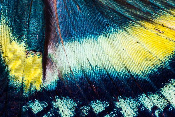 alas de mariposa tropical de orontes de alcides - mariposa fotografías e imágenes de stock