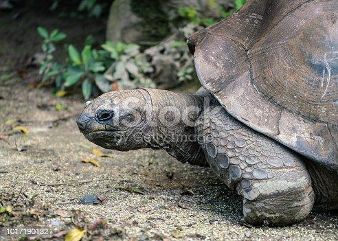 istock Aldabra giant tortoise Aldabrachelys gigantea details close up view of the head 1017190132