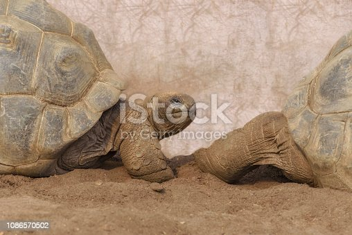 Aldabra giant tortoise, Aldabrachelys gigantea from the islands of the Aldabra Atoll in the Seychelles. Close up