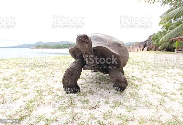 Aldabra giant tortoise aldabrachelys gigantea seychelles picture id178869530?b=1&k=6&m=178869530&s=612x612&h=is0gk kvuye o8sy4ut4nbu3v tyeody1k zr2vhyr8=