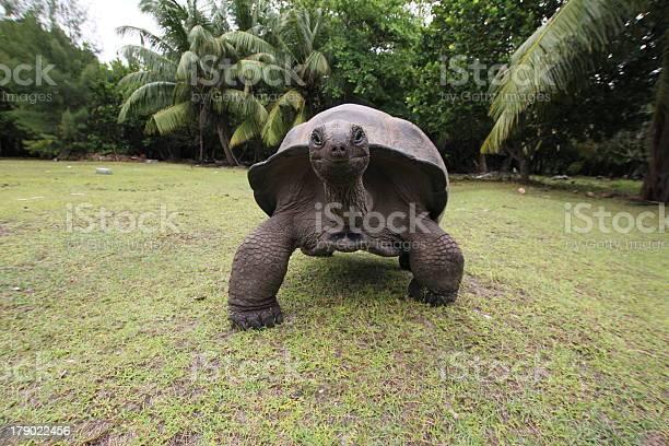 Aldabra giant tortoise aldabrachelys gigantea seychelles picture id179022456?b=1&k=6&m=179022456&s=612x612&h=bhjxcg8prgylgvvouitcpqpkppcgjgxntnstr8waejy=