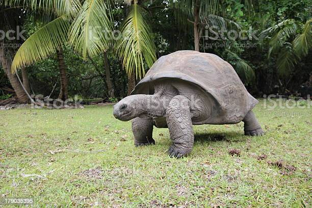 Aldabra giant tortoise aldabrachelys gigantea seychelles picture id179035395?b=1&k=6&m=179035395&s=612x612&h=ejqykpvgwokhpsxzmucihger8rfc3bci2ls4l5ljz0a=