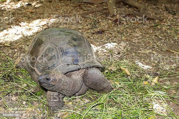 Aldabra giant tortoise picture id491189188?b=1&k=6&m=491189188&s=612x612&h=dqp3r4yehnceira6c ydobtycd87 5u8e6x5j dbx7m=