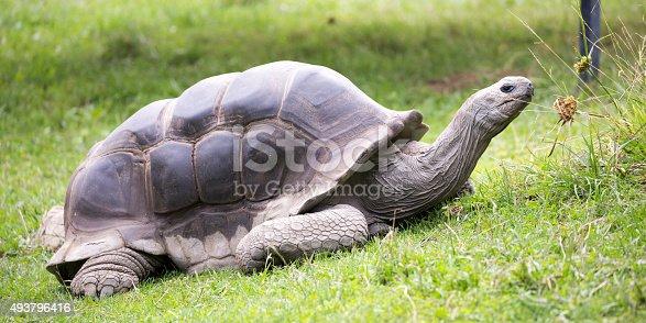 istock Aldabra giant tortoise (Aldabrachelys gigantea) 493796416