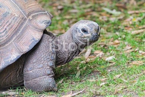 istock Aldabra Giant Tortoise 801089914