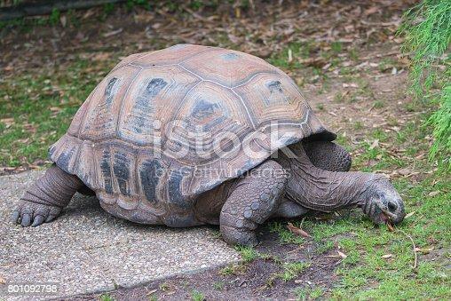 istock Aldabra Giant Tortoise 801092798