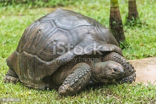 istock Aldabra Giant Tortoise 913596122