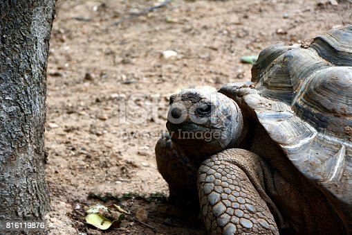 istock Aldabra Giant Tortoise, with closeup detail of the animal's face, paws and shell 816119876
