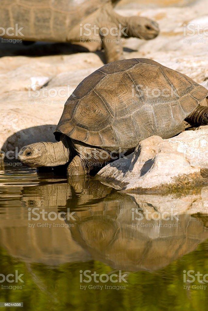 aldabra giant tortoises at pool royalty-free stock photo