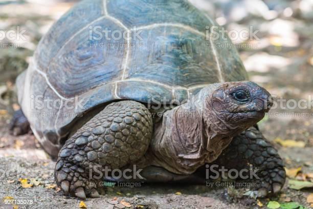 Aldabra giant turtle prison island zanzibar tanzania picture id927135078?b=1&k=6&m=927135078&s=612x612&h=co3kzgtv2ue wdw3eilyoiq ogsuzfdsngals662hbk=