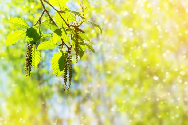 alder branch - pyłek zdjęcia i obrazy z banku zdjęć