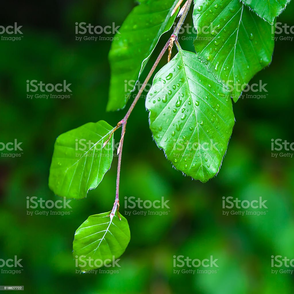 Alder branch with green leaves stock photo