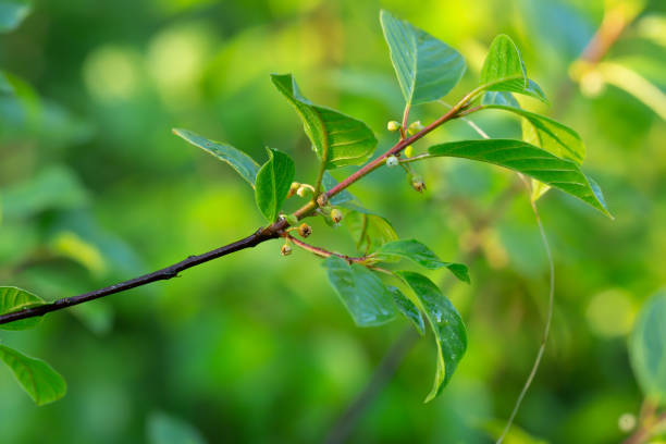Alder buckthorn, Rhamnus frangula twig stock photo