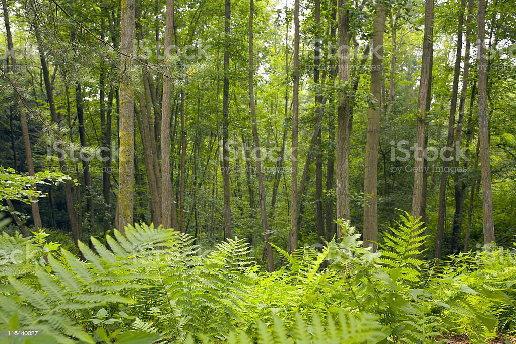 alder forest royalty-free stock photo
