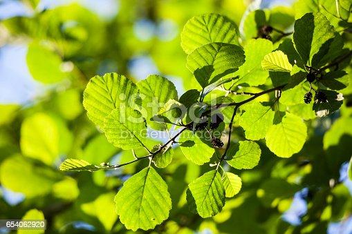 Alder leaves in sunlight at summer