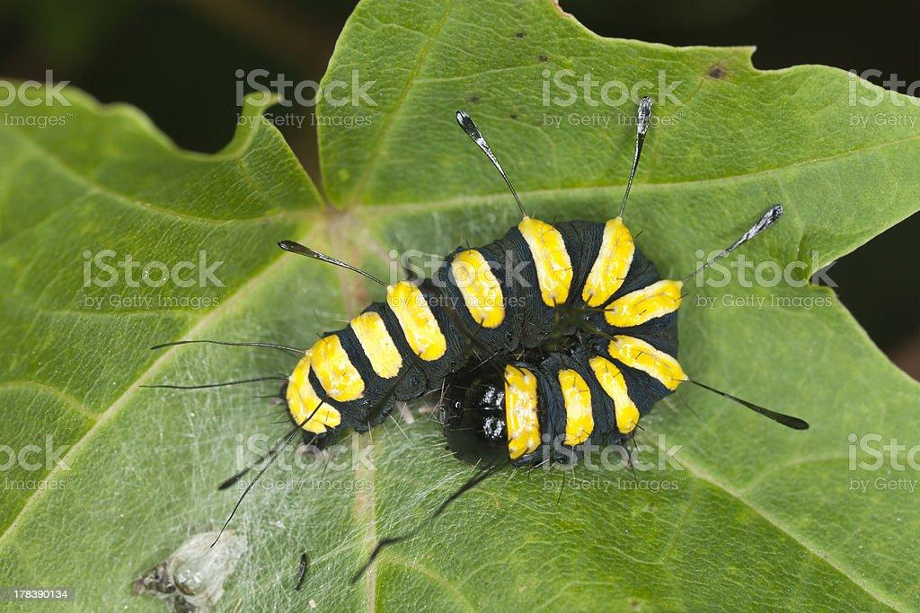 Alder Moth (Acronicta alni) larva sitting on leaf, macro photo stock photo