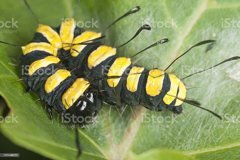 Alder Moth (Acronicta alni) larva sitting on leaf stock photo