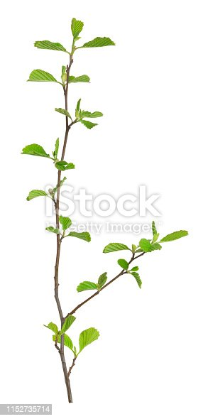 Closeup of alder plant isolated on white background.
