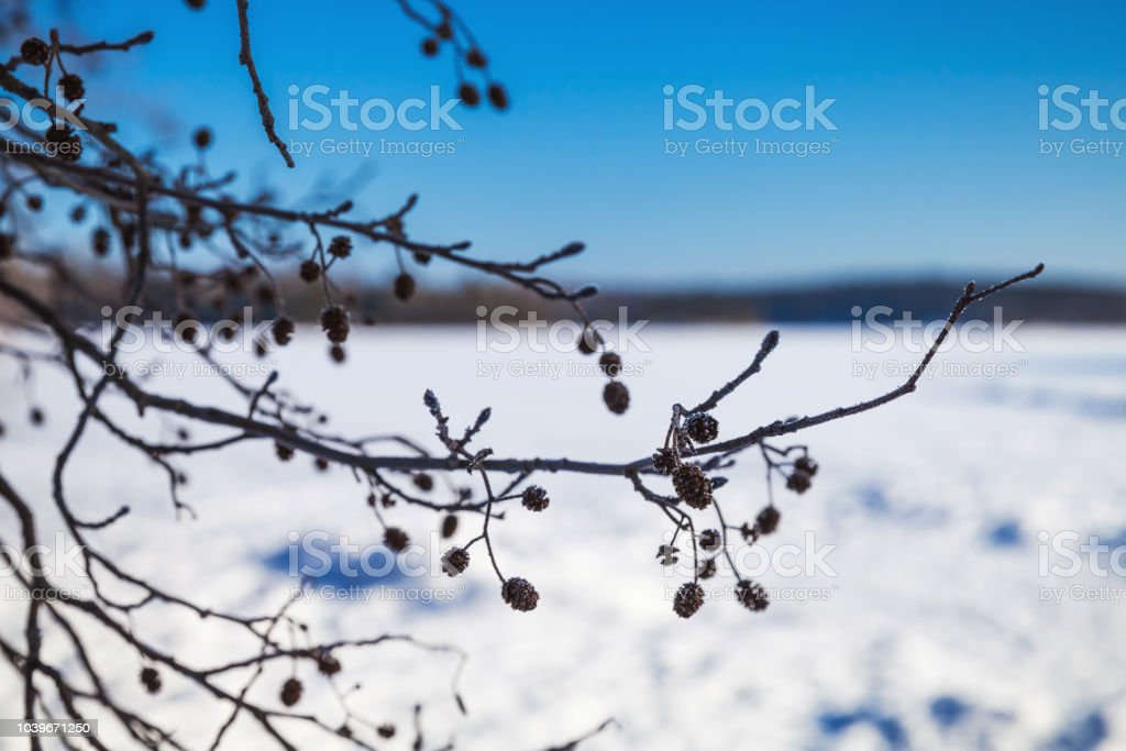 Alder tree branches in winter. Close-up royalty-free stock photo