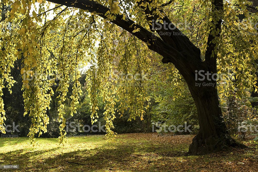 Alder Tree in early autumn stock photo