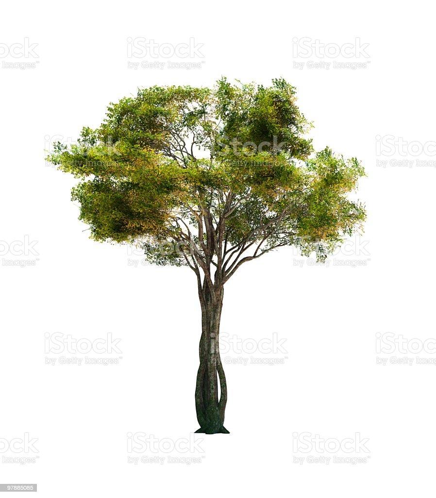 Alder Tree royalty-free stock photo