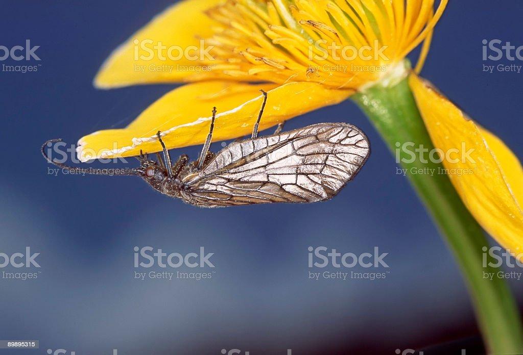 Alderfly royalty-free stock photo