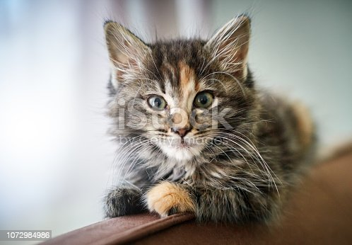 A cute 7-week-old kitten with tabby markings, long hair, and one orange paw looks alertly at the camera as she balances on a wooden bed head..