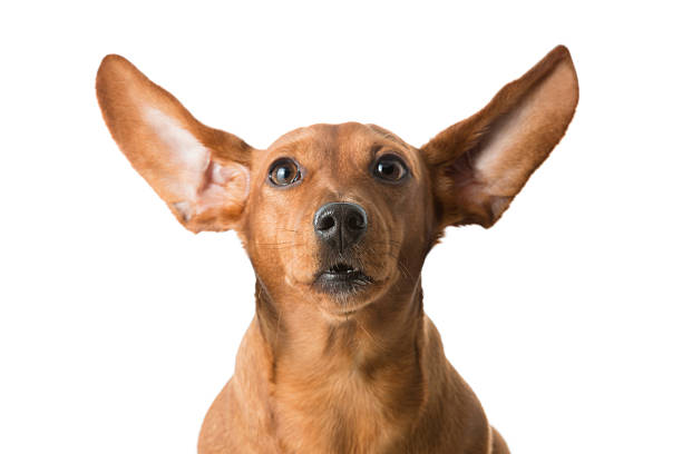 Alert barking Dachshund with ears pricked up stock photo