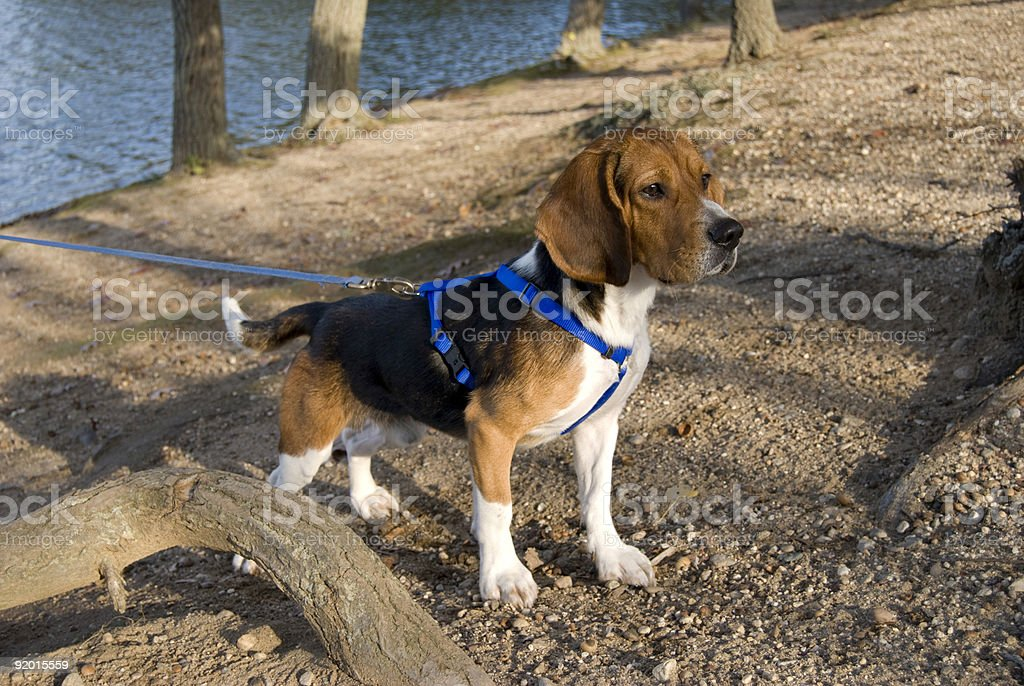 alert beagle stock photo