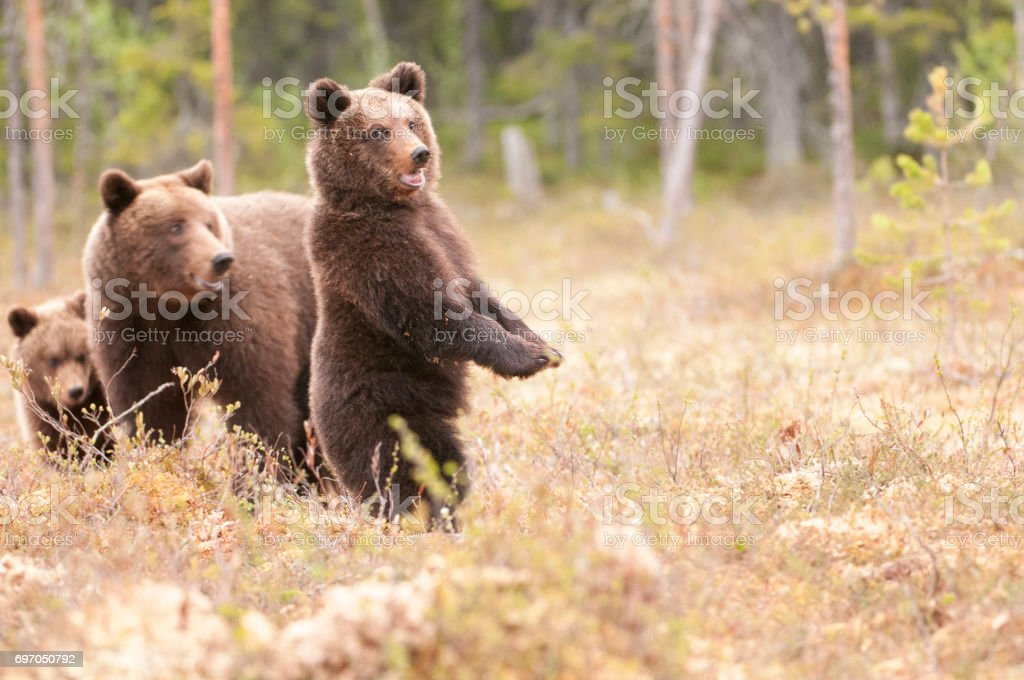 Alert Bears. stock photo