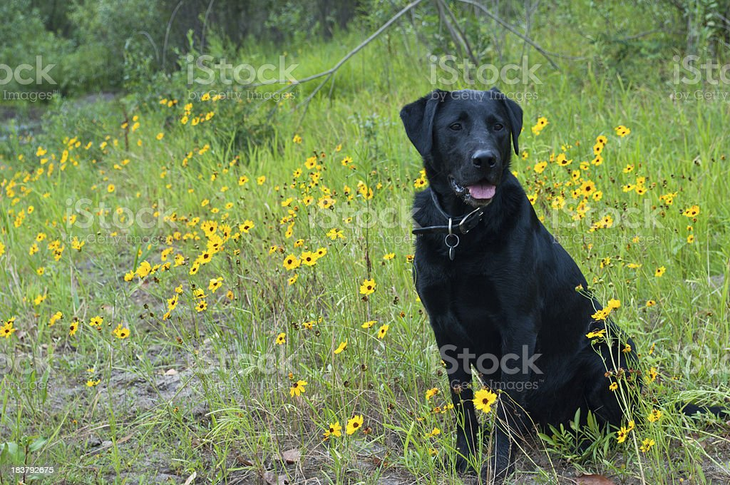 Alert Black Labrador Retriever Dog In Field of Wildflowers royalty-free stock photo
