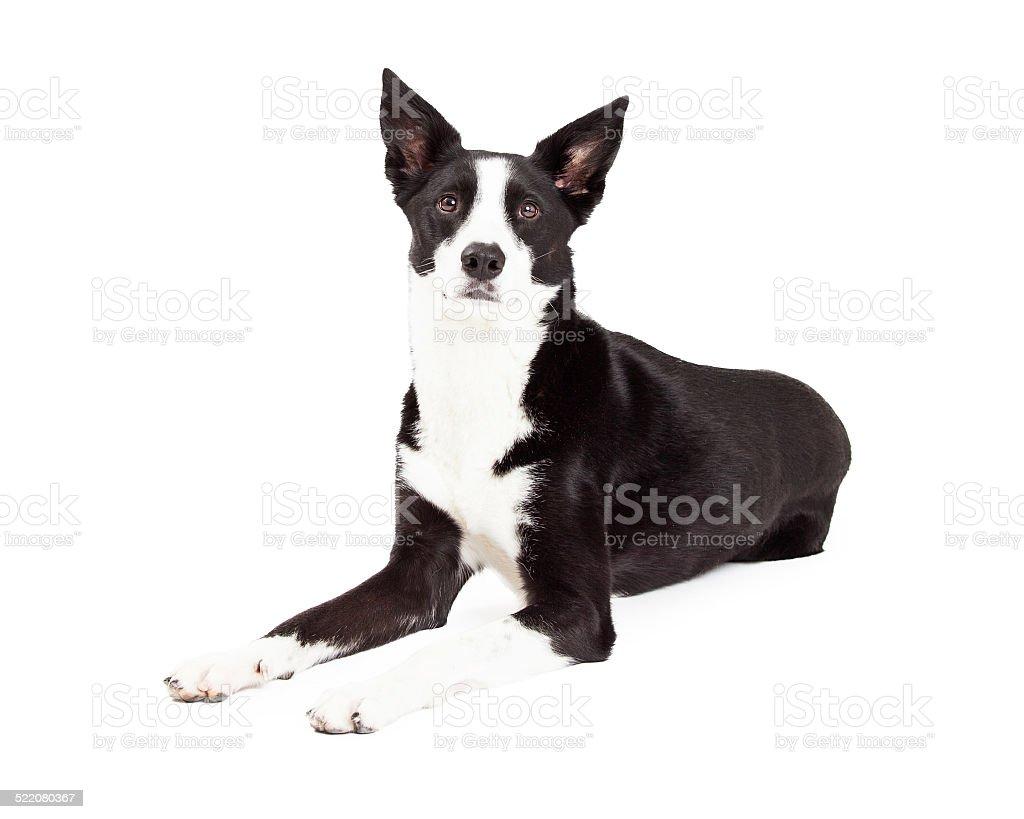 Alerta de perros Border Collie mezclar Breed colocación - foto de stock