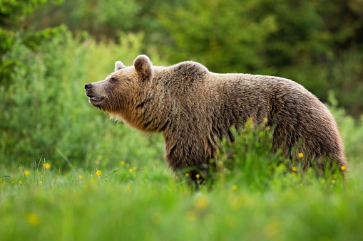 Alert brown bear, ursus arctos, sniffing with snout up in summer nature with green blurred background. Attentive wild mammal detecting scents on a meadow with green grass.