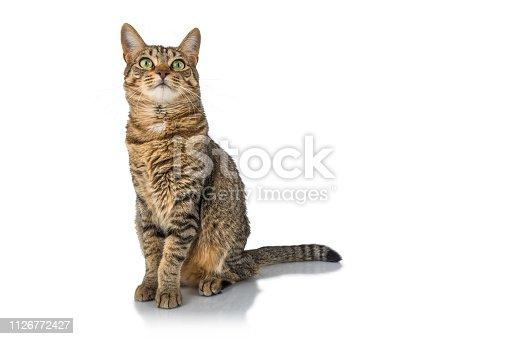 Playful tabby cat watching around.