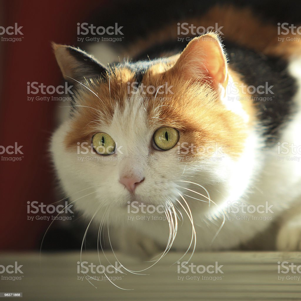 alert cat royalty-free stock photo