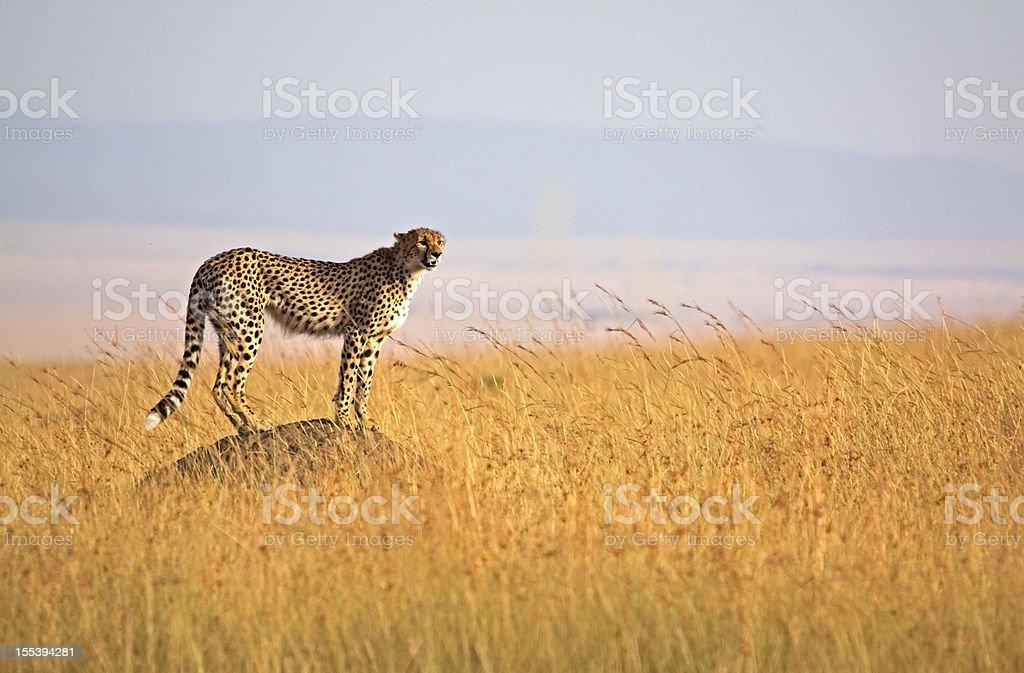 Alerta de guepardo - foto de stock