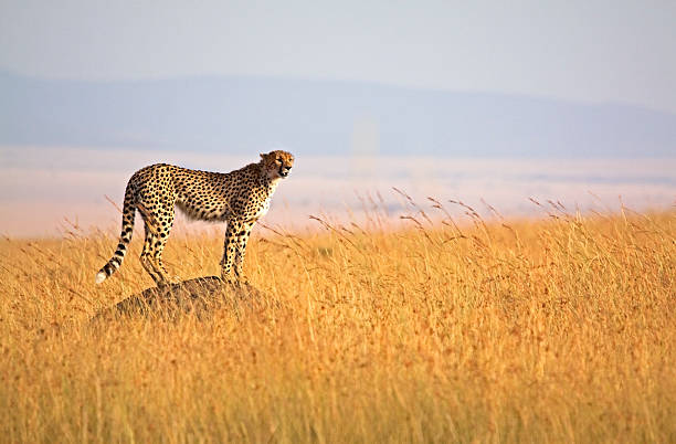 alert cheetah - jachtluipaard stockfoto's en -beelden
