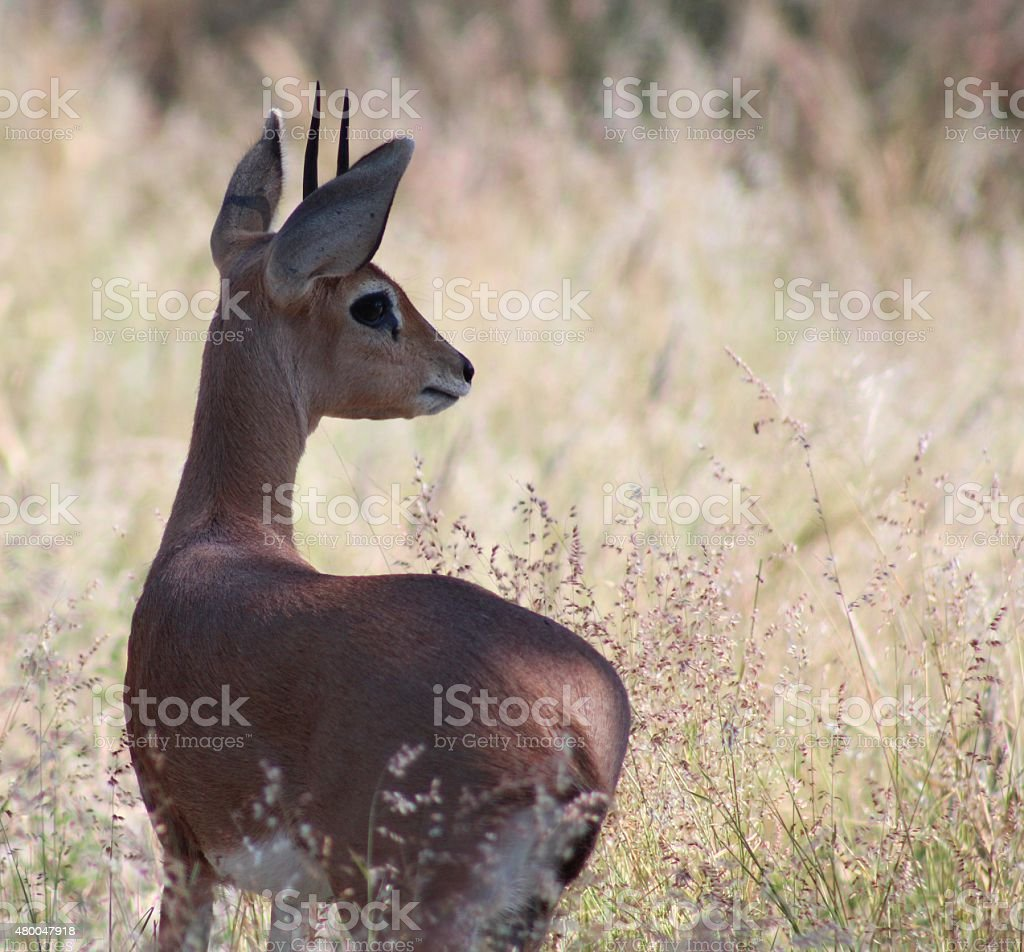 Alert Common Duiker (Sylvicapra grimmia) looking over tall grass stock photo