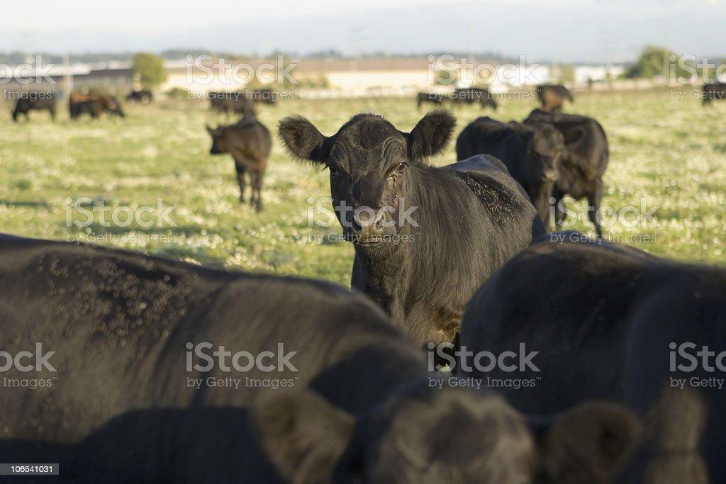 Alert Cow stock photo