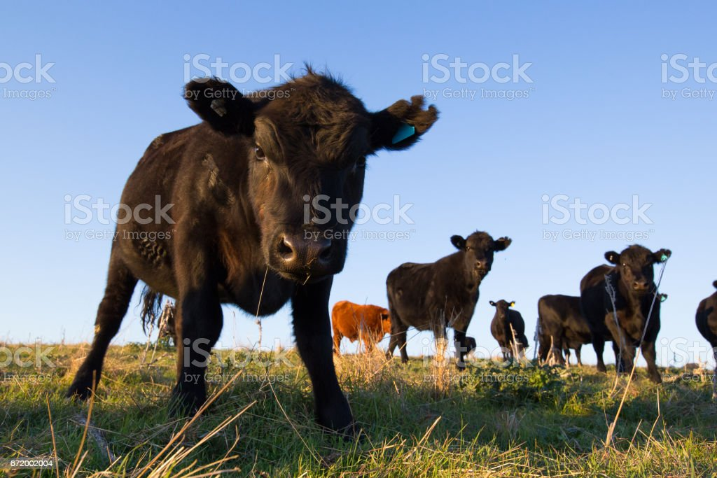 Alert cow protects the herd stock photo