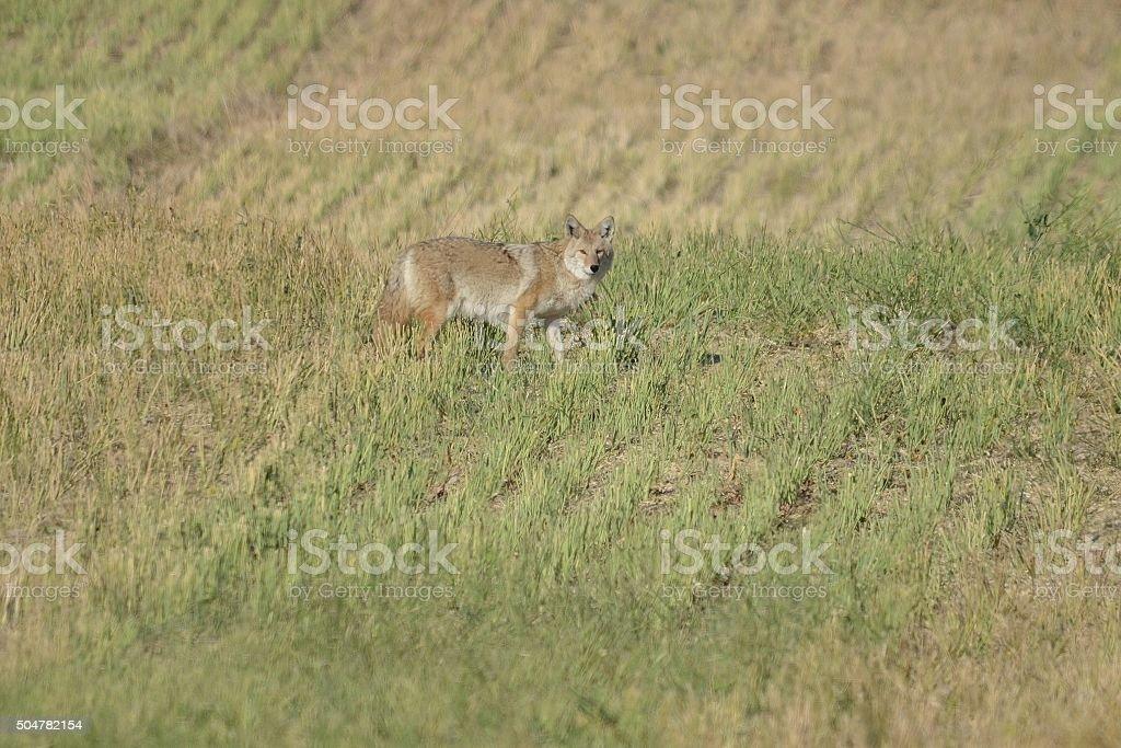 Alert Coyote in a field of cut grass stock photo