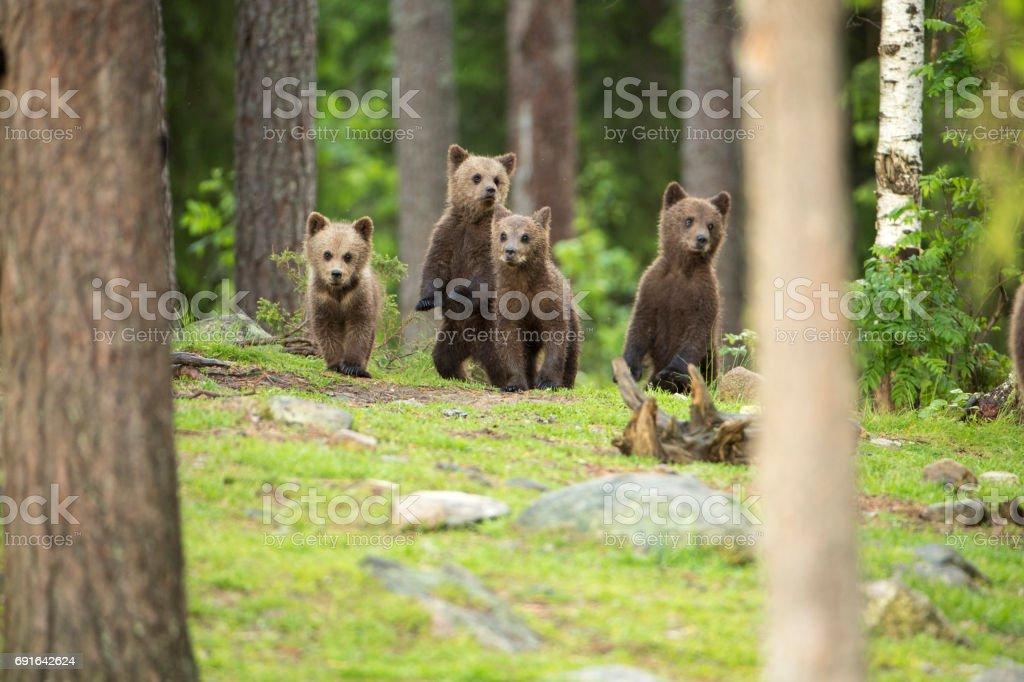 Alert Cubs! stock photo