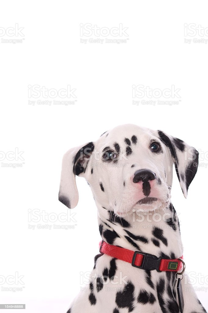 Alert Dalmatian puppy royalty-free stock photo
