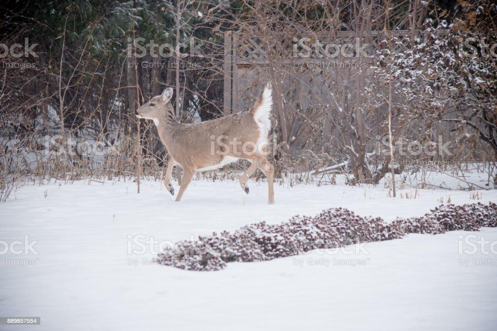 alert deer stock photo