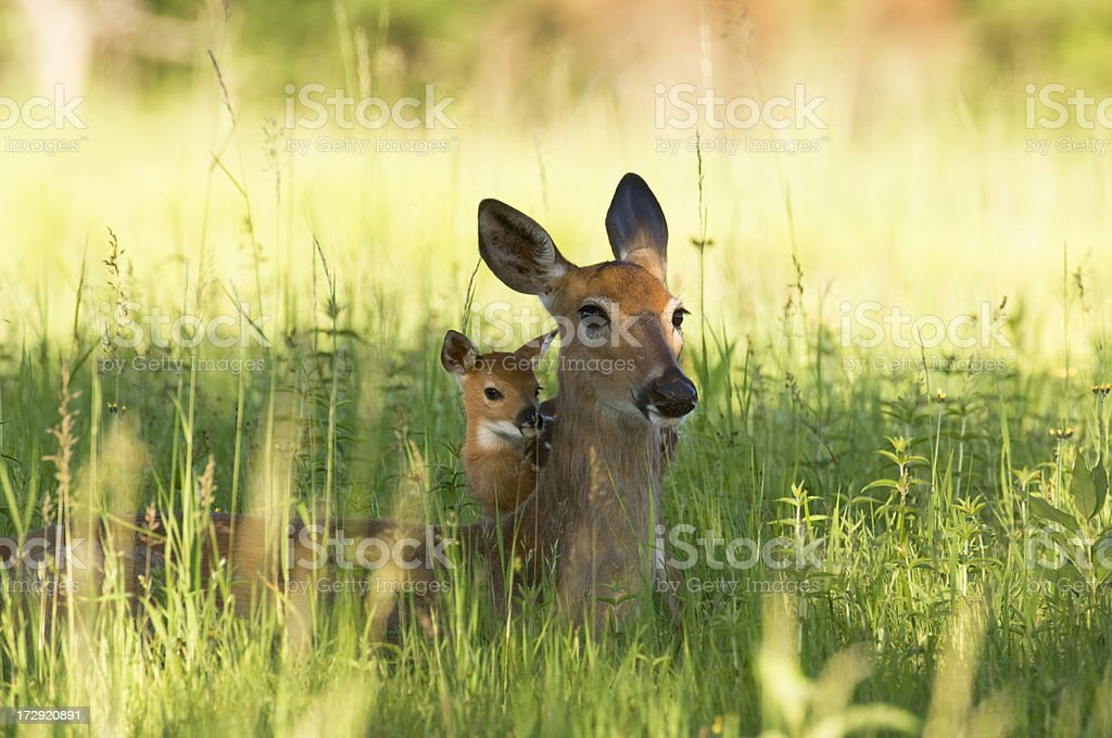 Alert Doe and fawn hiding in the Grass royalty-free stock photo