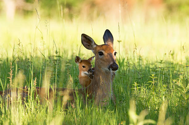 alerte doe et fauve se cacher dans l'herbe - faon photos et images de collection