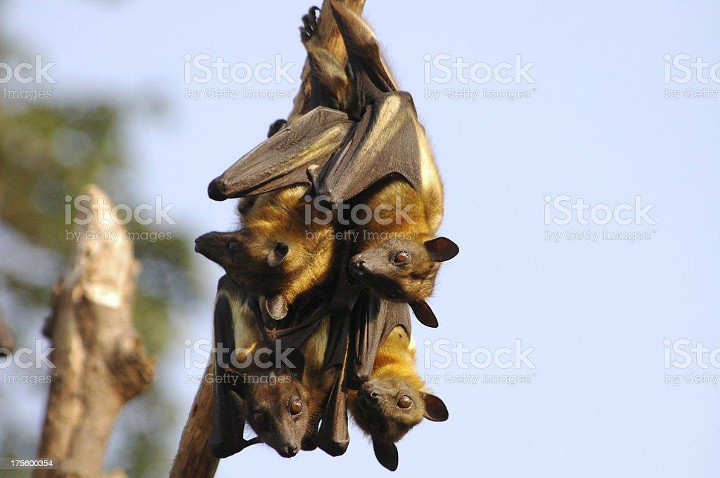 Alert fruit bats royalty-free stock photo