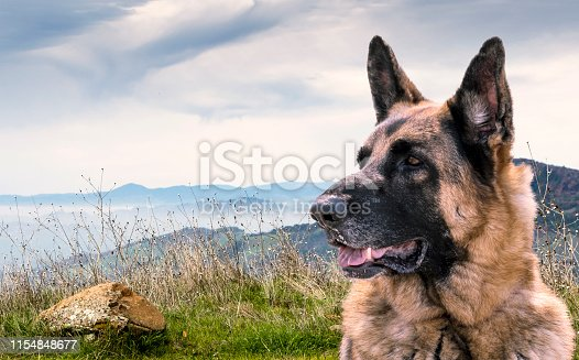 Alert German Shepherd Dog Sitting outdoors on a hill with view of other mountains. Composition.